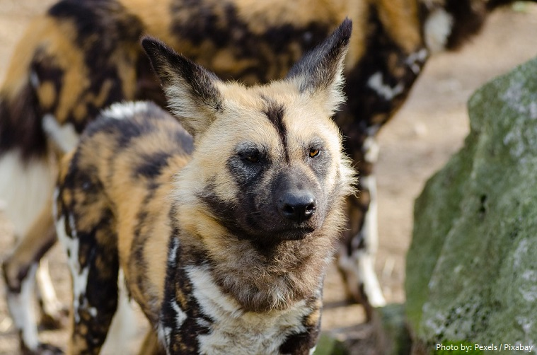 african-wild-dogs-3