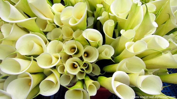 calla-lilies-3