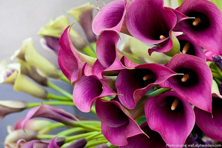 calla-lilies-4
