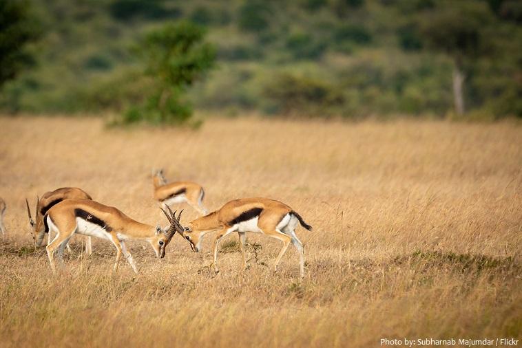 gazelles-2