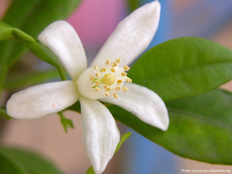 kumquats flower