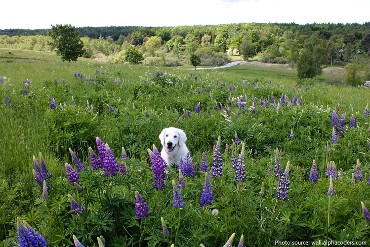 lupins-6
