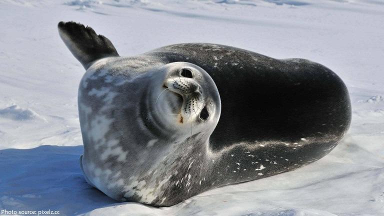 weddell-seal-3