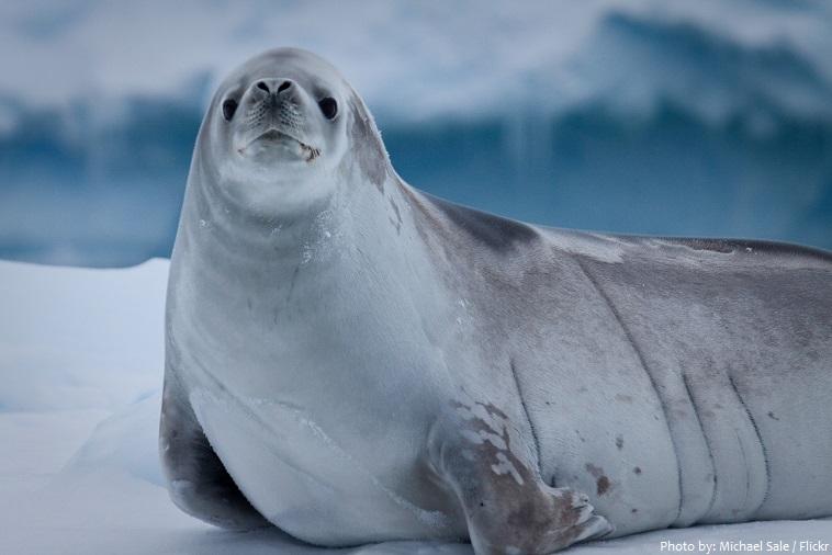 weddell-seal-4