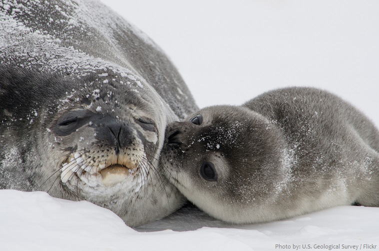 weddell seal mother and cub