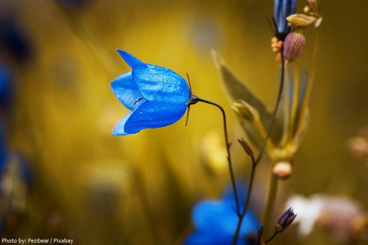 bellflowers-3
