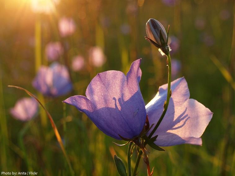 bellflowers-4