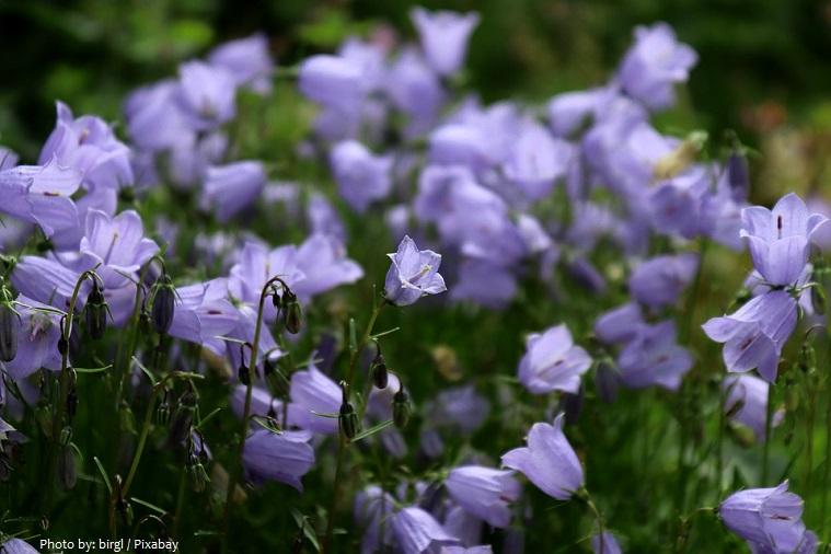 bellflowers-5