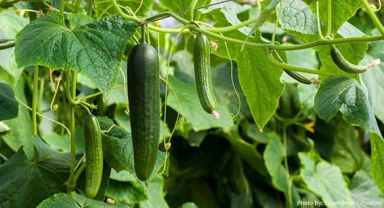cucumbers-3