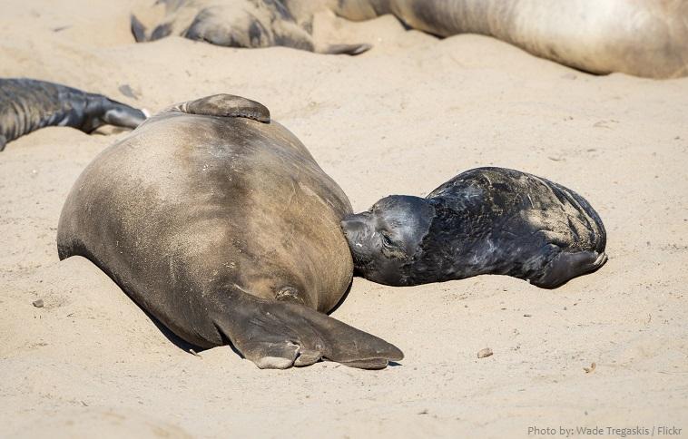 elephant seal baby