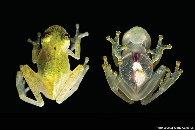 glass-frog-2