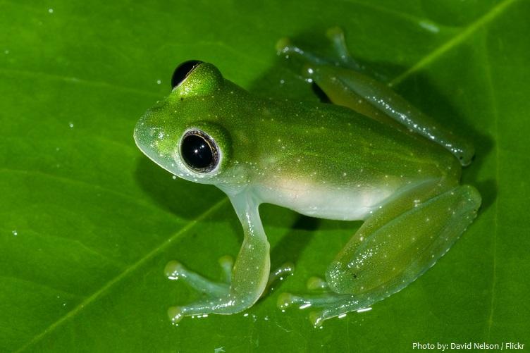 glass-frog-3