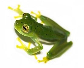 glass-frog-5