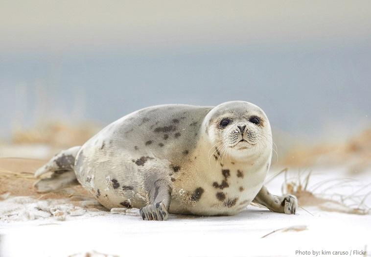 harp-seal-2