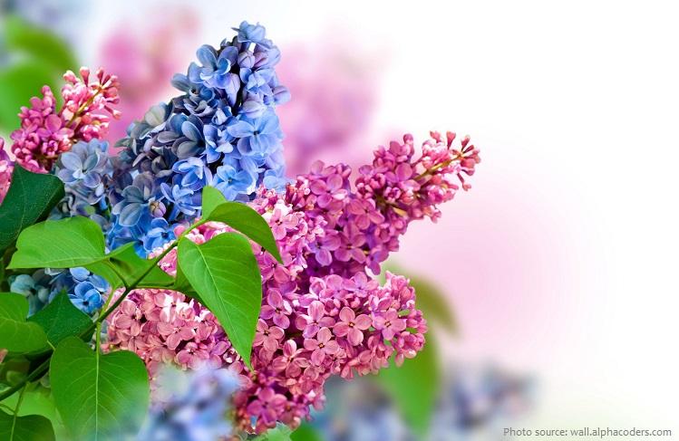 lilacs-6