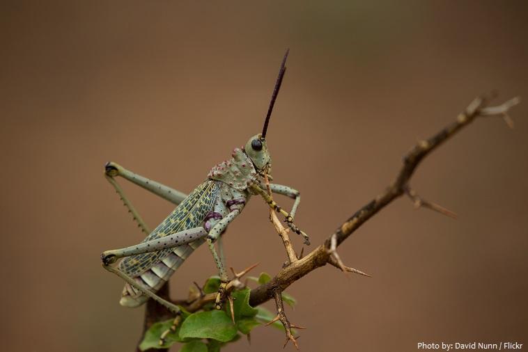 locust-2