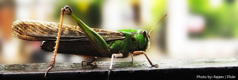 locust-3