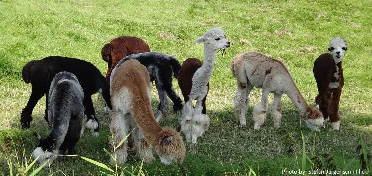 alpacas-3