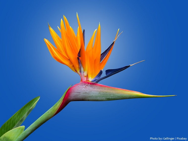 bird-of-paradise-flower-3