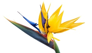 bird-of-paradise-flower-5