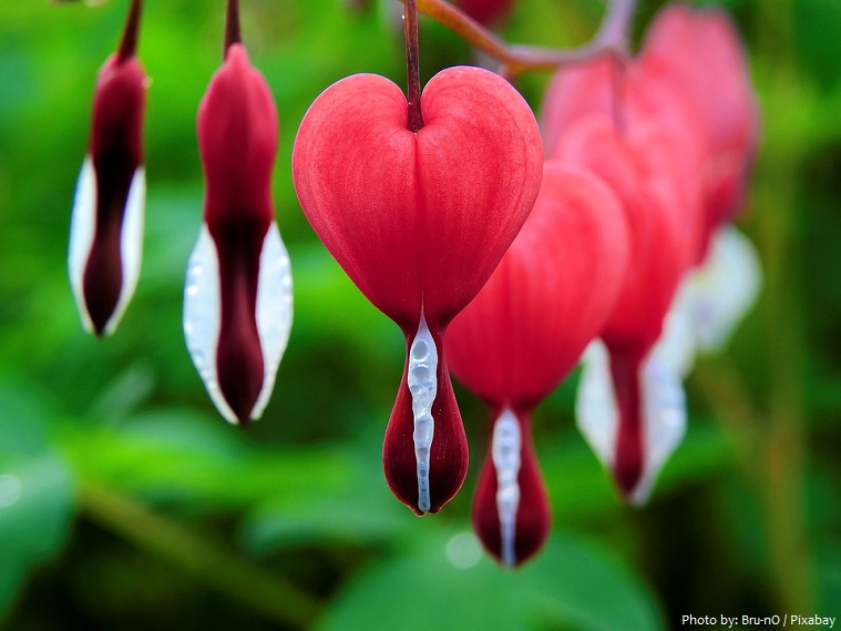 bleeding-heart-2