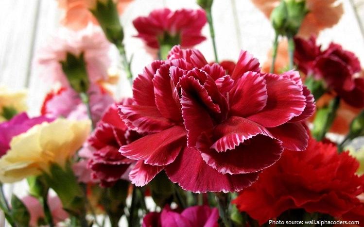 carnation-2