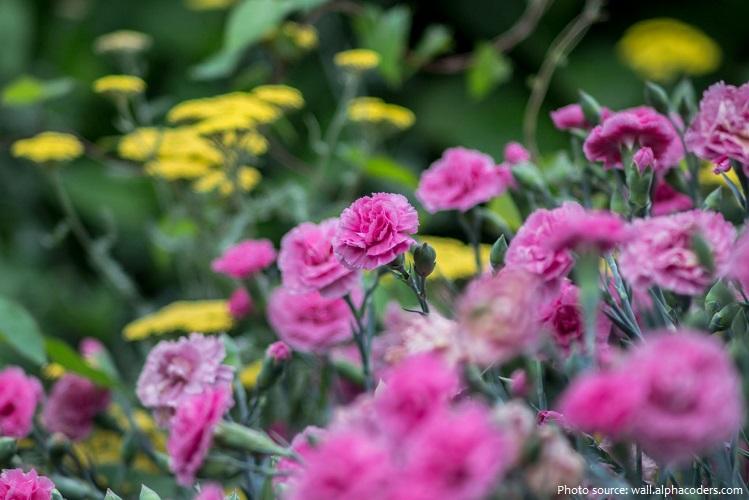 carnation-3