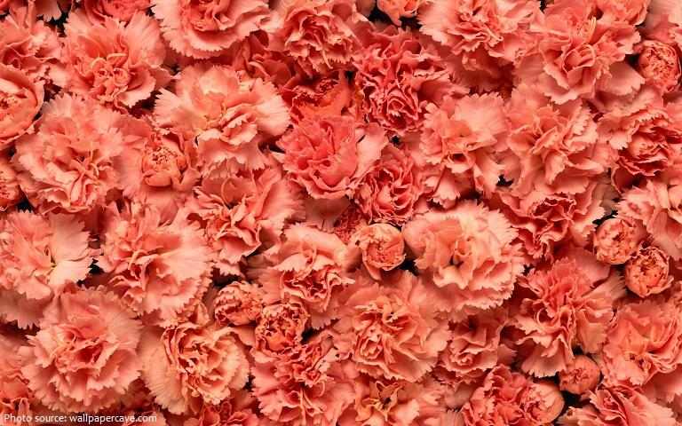 carnation-5