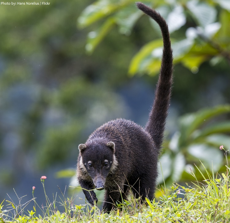 coati walking