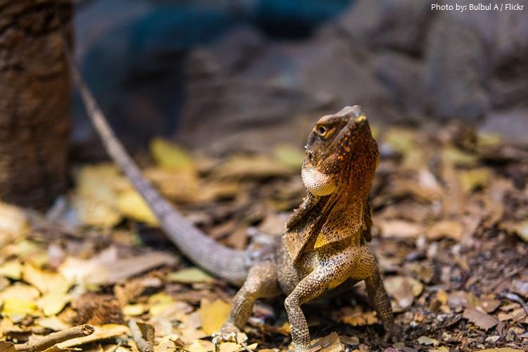 frilled-lizard-2