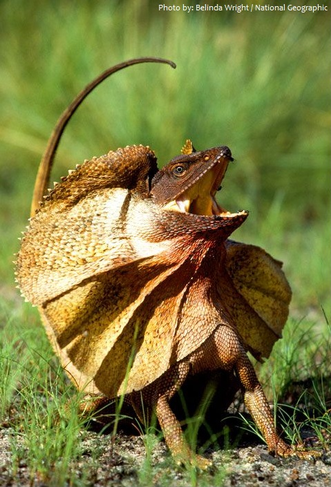 frilled-lizard-3