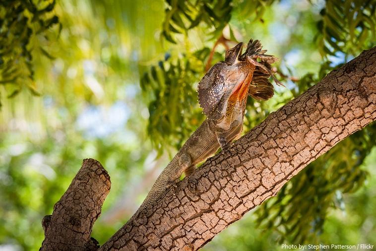 frilled-lizard-4