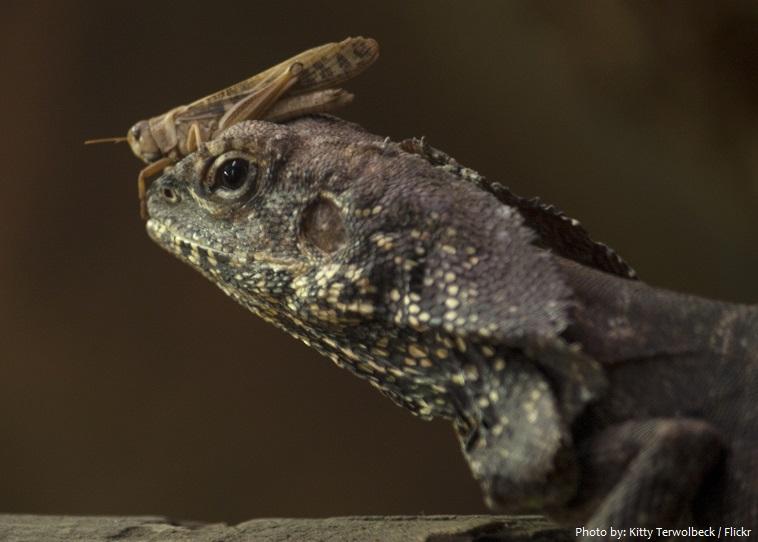frilled-lizard-5