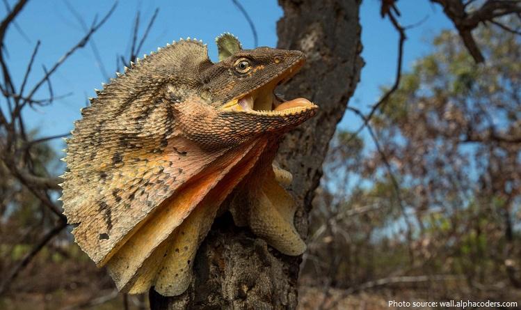 frilled-lizard-6