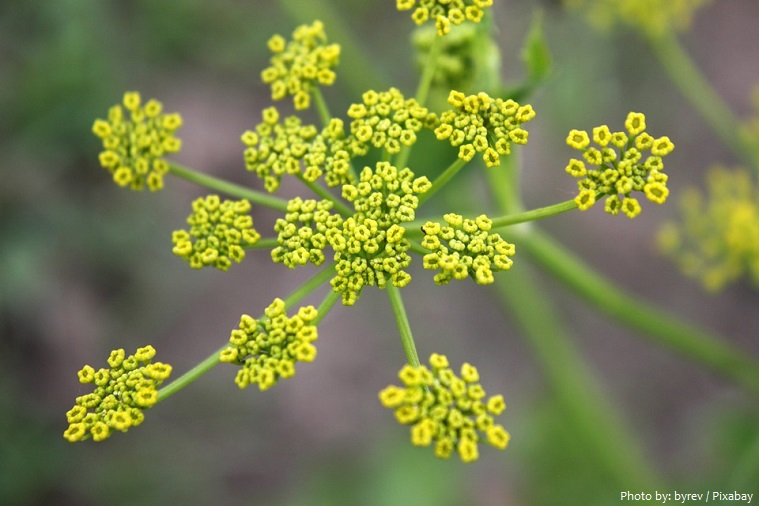 parsnips flowers