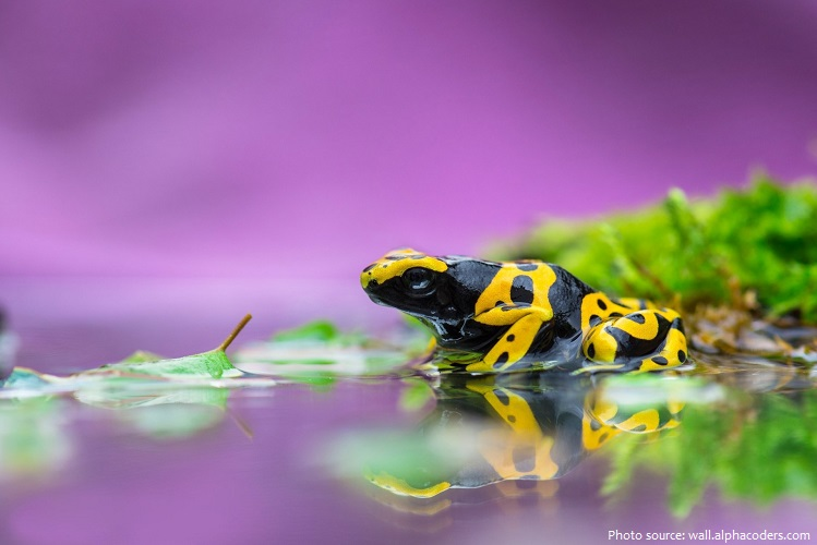 poison-frog-2