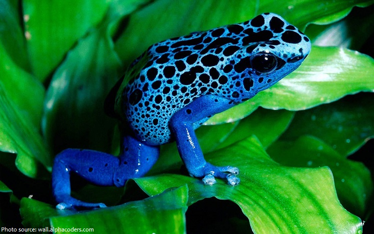 poison-frog-4