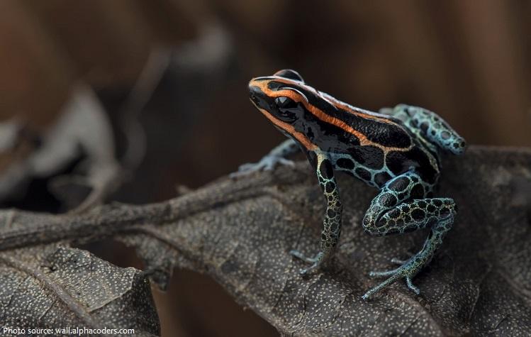 poison-frog-5