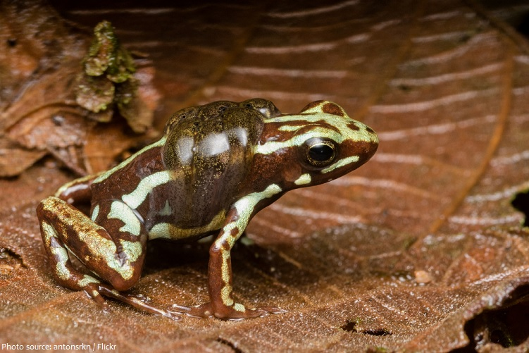 poison-frog-6