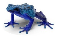 poison-frog-7