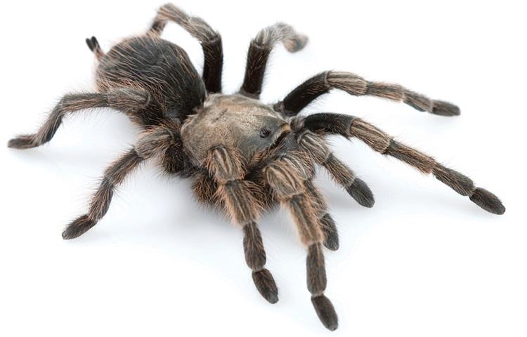 tarantula-2