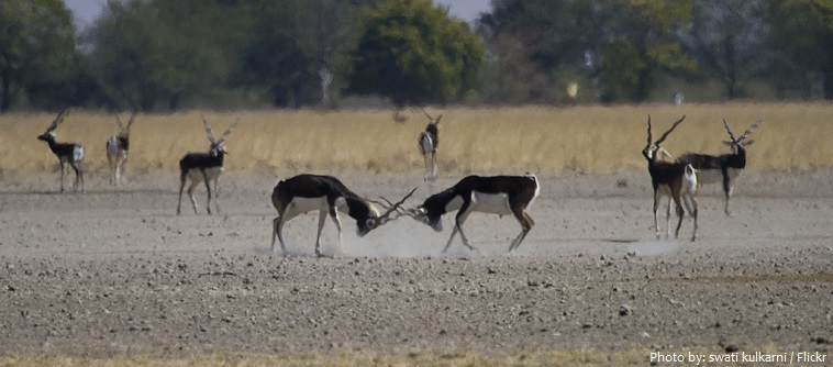 blackbucks-2