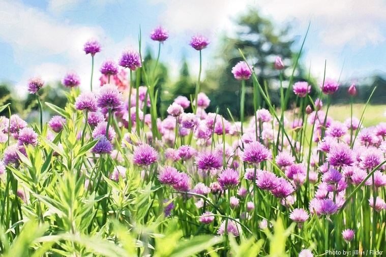 chives flowers