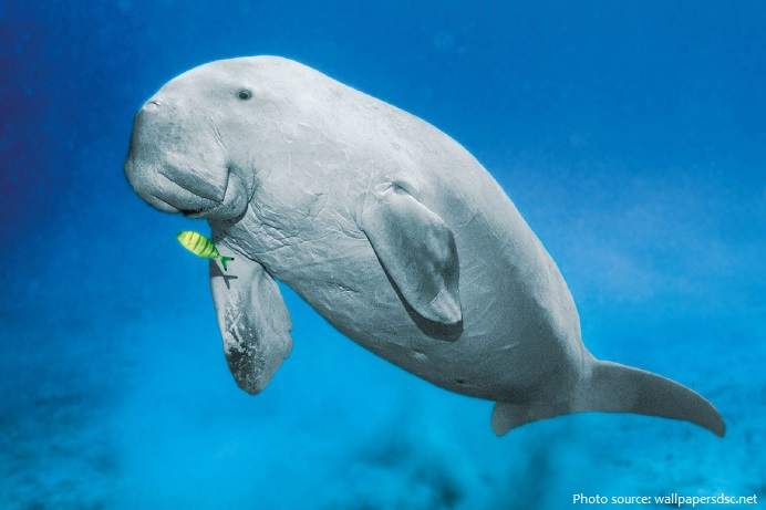 dugong-3