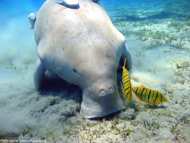 dugong-4