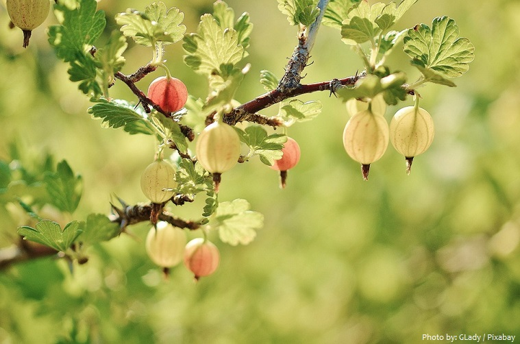 gooseberries-2