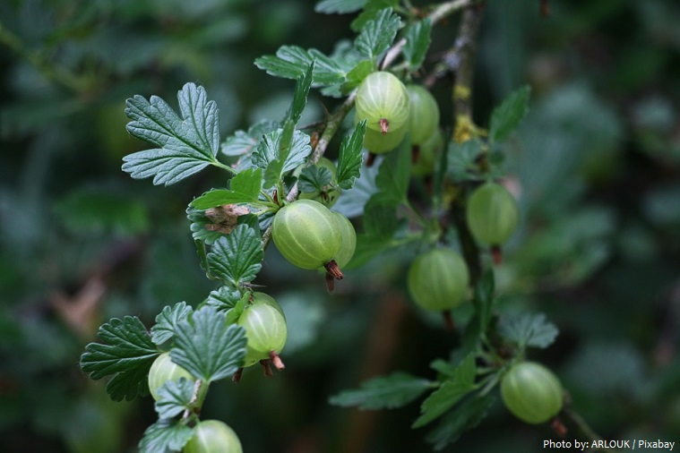 gooseberries-4