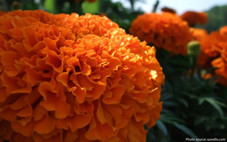 marigolds-3