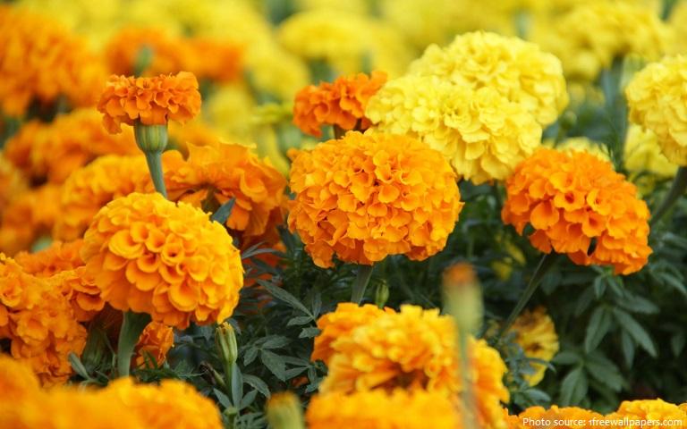 marigolds-4