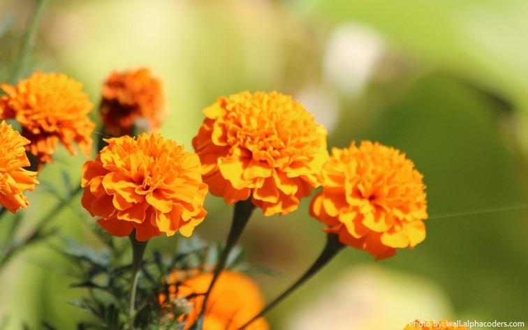 marigolds-5